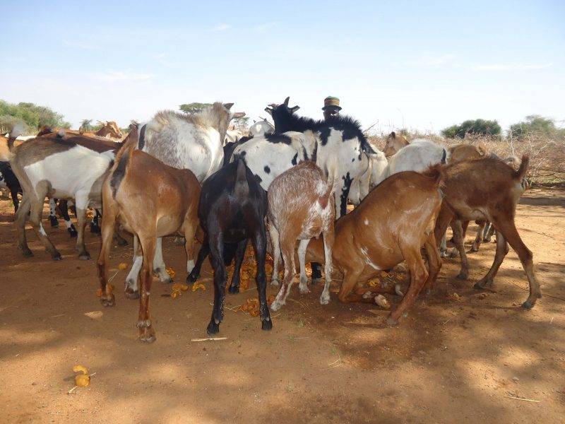 GOATS GIVEN TO GROUPS FEEDING ON LOCAL TREE PODS FOR IMPROVED HOUSEHOLD NUTRITION THROUGH MILK PRODUCTION