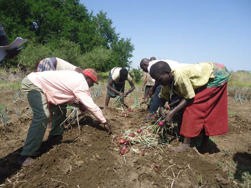 SUPPORTED WOMEN GROUPS HARVESTING ONIONS FOR HOUSEHOLD INCOME